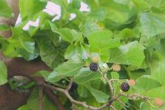 Fruit magnifique d'été, mûre photographie stock
