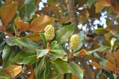 Fruit of a magnolia. White fruit of a magnolia Stock Photos