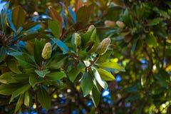 Fruit magnolia Stock Photography