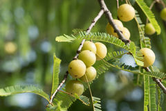 Fruit of Malacca Tree Stock Photography