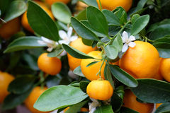 Fruit mandarin on a branch. Ripening fruit mandarin on a tree branch close-up Royalty Free Stock Photo