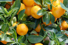 Fruit mandarin on a branch. Ripening fruit mandarin on a tree branch close-up Stock Photos