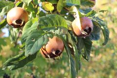 Fruit of Mespilus germanica, also named common medlar at a tree.  stock images