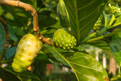 Fruit of Morinda citrifolia L tree with the leaf Royalty Free Stock Photo