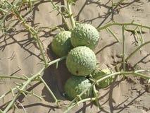 Fruit Nara. Familie Cucrbitaceae Stock Foto
