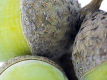 Fruit of the oak - Macro of acorns Royalty Free Stock Photo