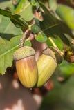 Fruit of an Oak tree ripe in autumn Stock Photo