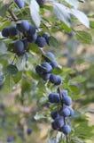 Fruit Of The Blackthorn Stock Photos