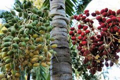 The fruit of the oil palm on a branch .  Palawan Island . Royalty Free Stock Photo