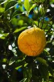 Fruit op de boom Royalty-vrije Stock Fotografie