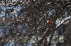 Fruit op de boom in de wintertijd Stock Fotografie