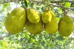 Fruit op de boom met rijp geel fruit, Stock Afbeelding