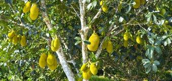 Fruit op de boom met rijp geel fruit, Stock Foto's