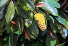 Fruit op een boom in een subtropisch klimaat stock afbeelding