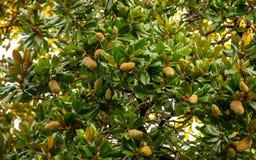 Fruit op een boom in een subtropisch klimaat stock foto