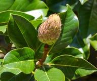Fruit op een boom in een subtropisch klimaat stock foto's