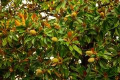 Fruit op een boom in een subtropisch klimaat stock fotografie