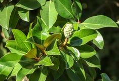 Fruit op een boom in een subtropisch klimaat royalty-vrije stock afbeeldingen