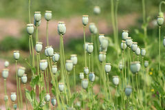 The fruit of the opium poppy stock photography