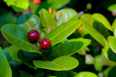 Free Fruit Or Seed Of Ixora Chinensis Lamk Flower, Rubiaceae. Stock Photography - 79021232