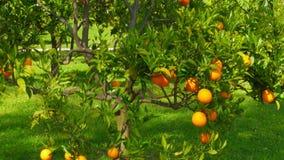 fruit orange à la branche de l'arbre, printemps, jour ensoleillé banque de vidéos