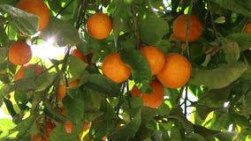 Fruit orange banque de vidéos