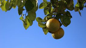 Fruit orange clips vidéos