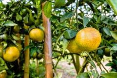 Fruit orange mûr sur l'arbre Photos libres de droits