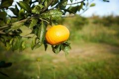 Fruit orange sur la branche d'arbre dans la fin vers le haut de la vue Image stock