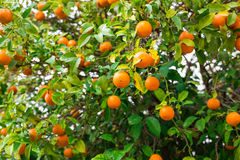 The fruit of the orange tree. Branch orange tree fruits green leaves Stock Photography
