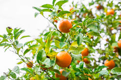 The fruit of the orange tree. Stock Photos