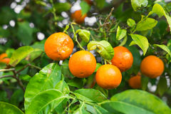 The fruit of the orange tree. Stock Photo