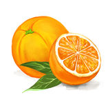 Fruit orange Vector illustration  hand drawn Stock Photography