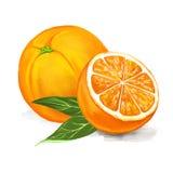 Fruit orange Vector illustration  hand drawn Stock Photography