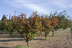 Fruit orchard. Apricot trees stand out with their orange leaves and fruit Royalty Free Stock Photos