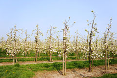 Fruit orchard Stock Photography