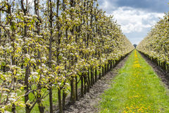 Fruit orchard with apple blossoms in spring Stock Photos