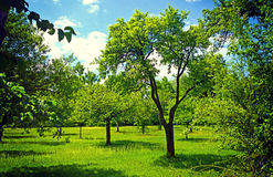 Fruit orchard in early summer Royalty Free Stock Photography