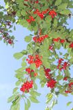 Branches with fresh red cherries in a blue sky Royalty Free Stock Photography