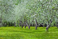 Fruit orchard`s first spring blossoms Royalty Free Stock Photos