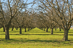 Fruit Orchards/California. Shot of symmetrical fruit trees taken in California's Central Valley during winter. The central valley area is considered Californias Royalty Free Stock Photography