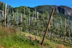 Fruit orchards in Hardanger fjord, Hordaland county, Norway. Fruit orchards in Hardanger fjord, Hordaland county, Norway royalty free stock image