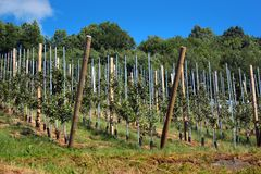 Fruit orchards in Hardanger fjord, Hordaland county, Norway.  stock photos