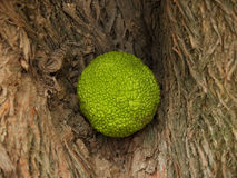 Fruit of an osage apple orange Adam`s apple in a bark crevice Royalty Free Stock Photo