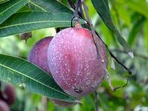 Fruit ou Mangifera de mangue indica Images stock