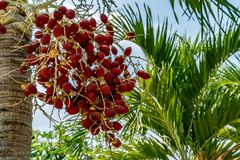 Fruit of palm tree. With green leaves stock images