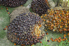 Fruit Palm Stock Images