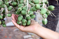 Fruit of the palms that is not yet ripe on hand. Stock Image
