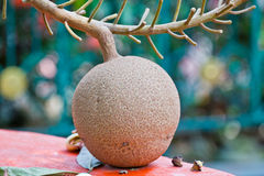 The fruit panicle of Cannonball tree, ancient plant. Stock Photography