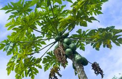 Fruit on papaya tree Stock Photos